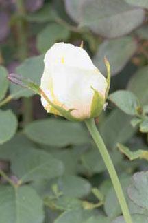 Rose-Elina-Hyb-TeaLR