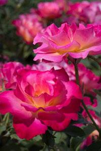Rose-Granada-Hyb-TeaLR