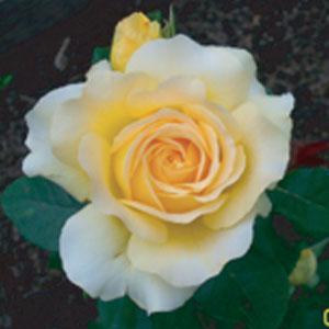 charlie-rose4